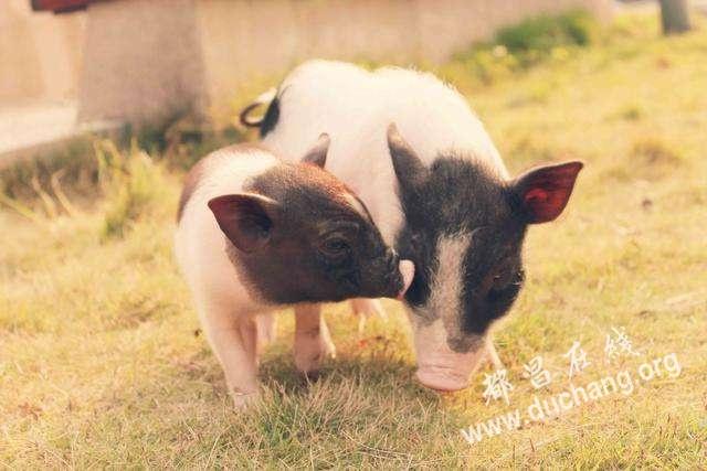 """都昌方言""""猪"""""""