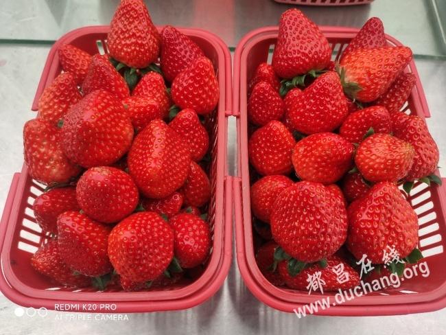 工业园奶油草莓